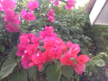 Capture the flora of my beautiful island. (The pink bougainvillea)